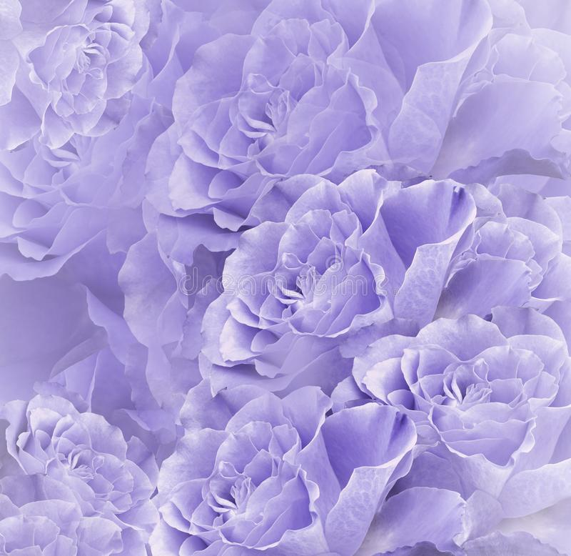 Floral violet-white beautiful background. Flower composition. Bouquet of flowers from light purple roses. Close-up. royalty free stock photo