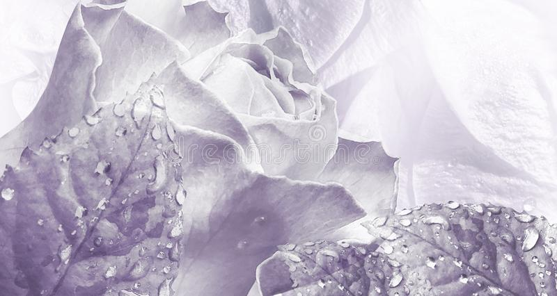 Floral watercolor light  purple background. Rose flowers close-up. royalty free stock photos
