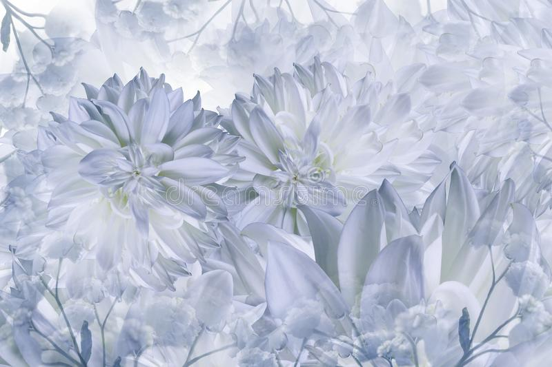 Floral white-blue background. Dahlias flowers close-up on a white background. Petals of flowers. royalty free stock image