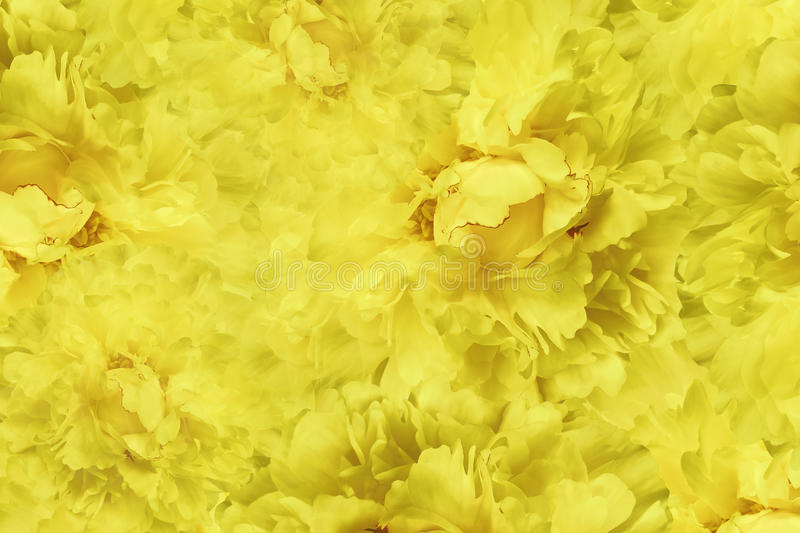 Floral yellow beautiful background. Wallpapers of flowers yellow peony. Flower composition. Close-up. Nature stock images