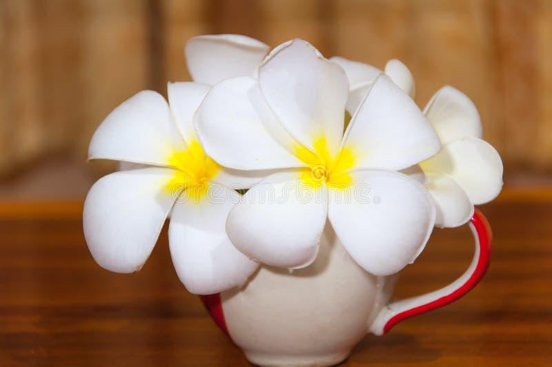 Flore blanche de Pudica de Plumeria images stock