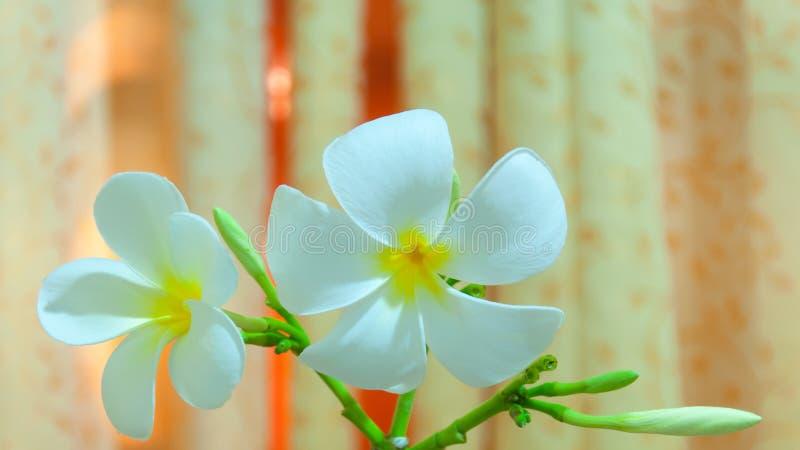 Flore blanche de Pudica de Plumeria photographie stock
