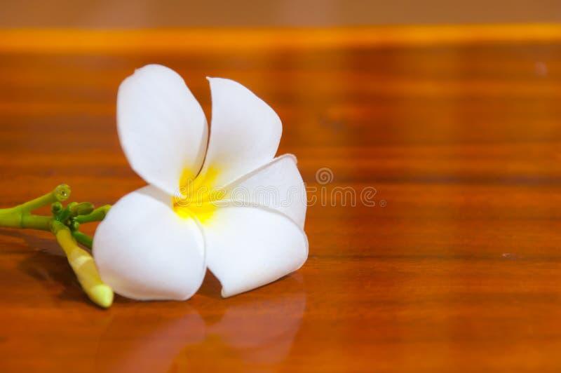 Flore blanche de Pudica de Plumeria photos stock