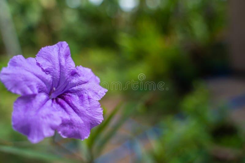 Flore De Fleur De La Ruellia Tuberosa Violette Dans Le Jardin Du Printemps Contexte photographie stock libre de droits