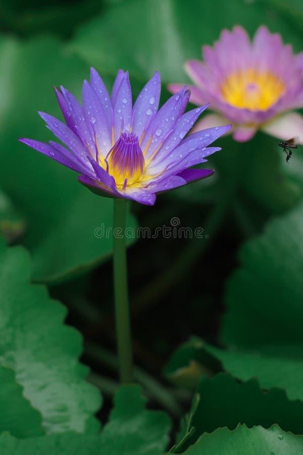 Flore de jardins de nature de fleurs de Lotus images libres de droits