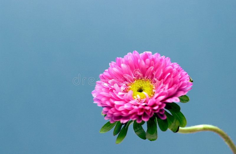 Flore - fleur rose photographie stock libre de droits