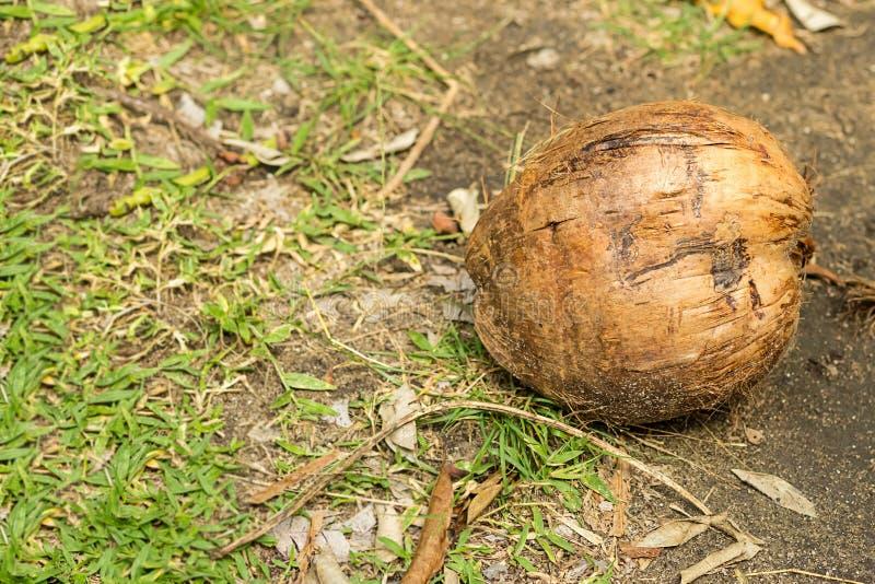 Flore tropicale de conception de noix de coco de vieux de fruit de noix palmiers ronds entiers de palmiers sur le fond de la terr images libres de droits