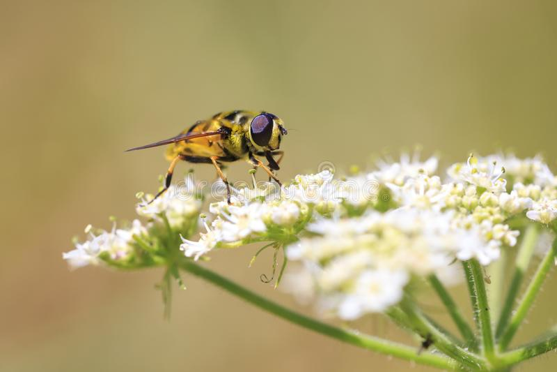 Florea di Myathropa hoverfly che impollina sui fiori bianchi fotografia stock