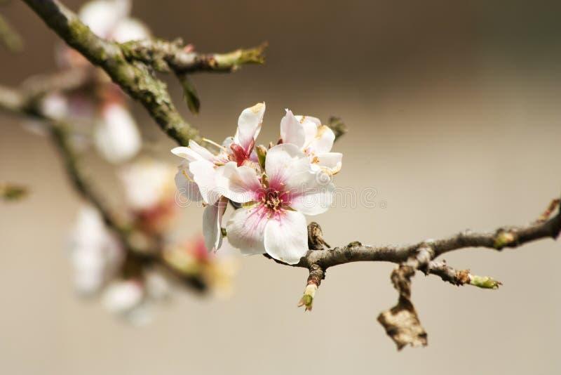 Florece cerezas imagen de archivo libre de regalías