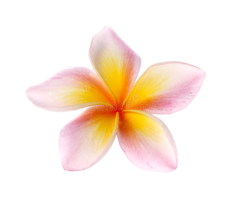 Florece el frangipani (plumeria) aislado en el fondo blanco imagen de archivo