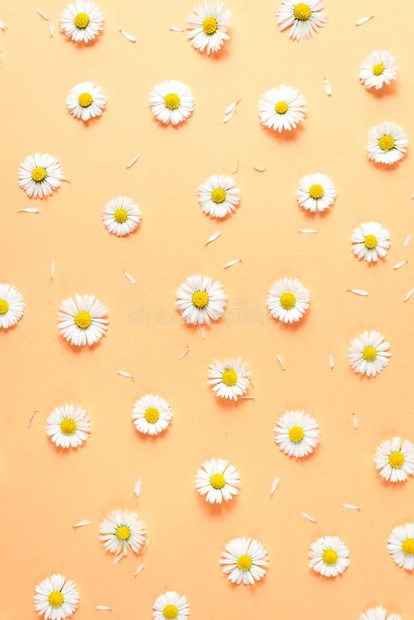 Florece la composici?n Modelo hecho de las manzanillas, p?talos en fondo anaranjado en colores pastel Primavera, concepto del ver fotografía de archivo libre de regalías