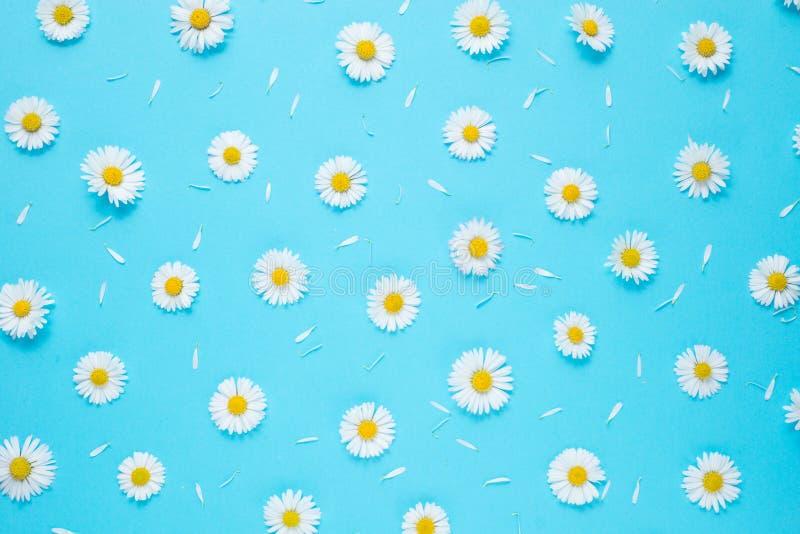Florece la composici?n Modelo hecho de las manzanillas, p?talos en fondo azul en colores pastel Primavera, concepto del verano imágenes de archivo libres de regalías