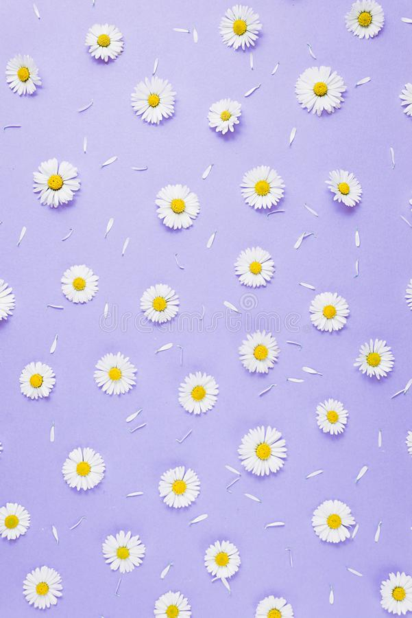 Florece la composici?n Modelo hecho de las manzanillas, p?talos en fondo p?rpura en colores pastel Primavera, concepto del verano foto de archivo