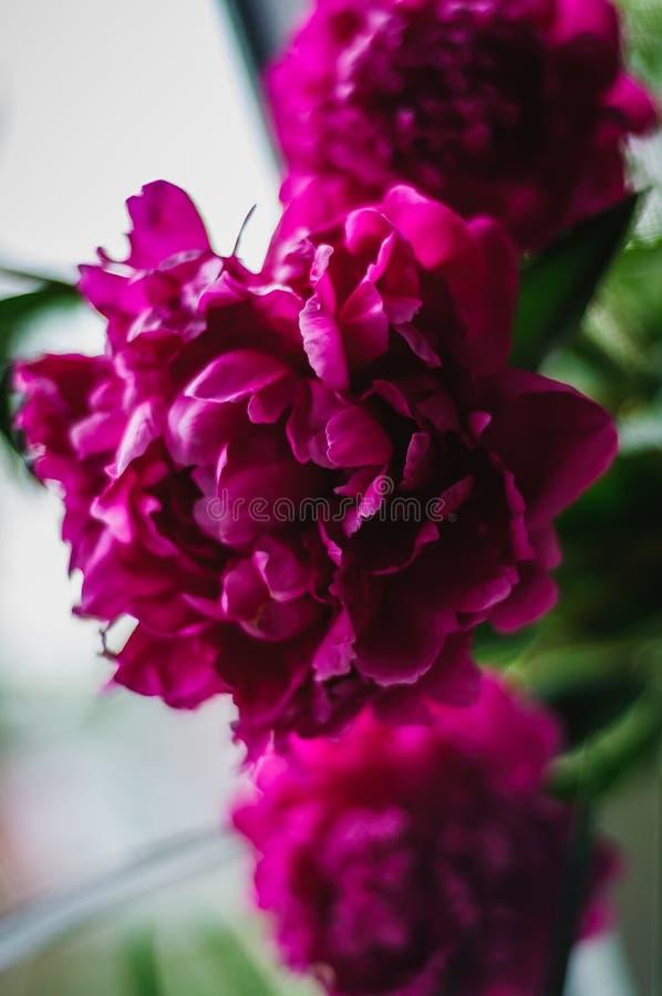 Florece peonies foto de archivo