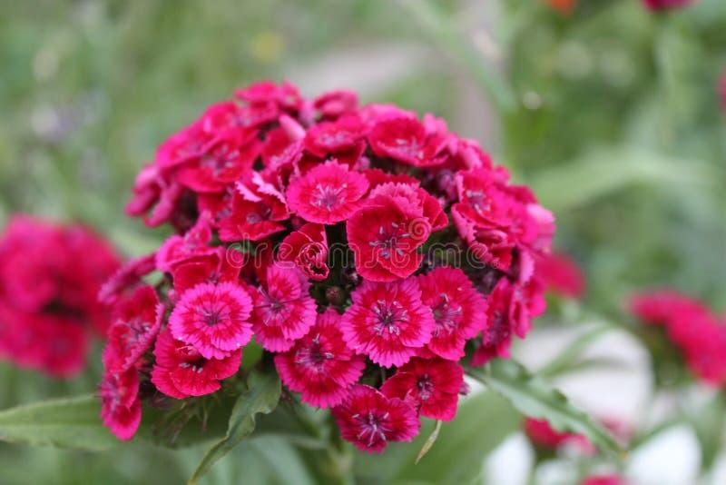 Florece rosa rojo del verde del foco del pueblo de la naturaleza de la inflorescencia de la planta de jardín del verano imagen de archivo libre de regalías