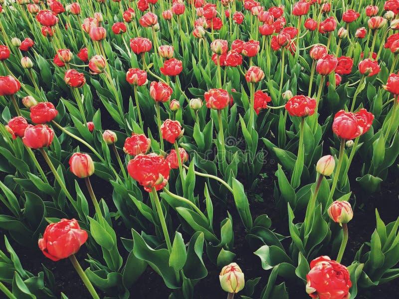 Florece tulipanes fotografía de archivo