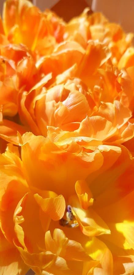 Florece tulipanes anaranjados imagen de archivo libre de regalías