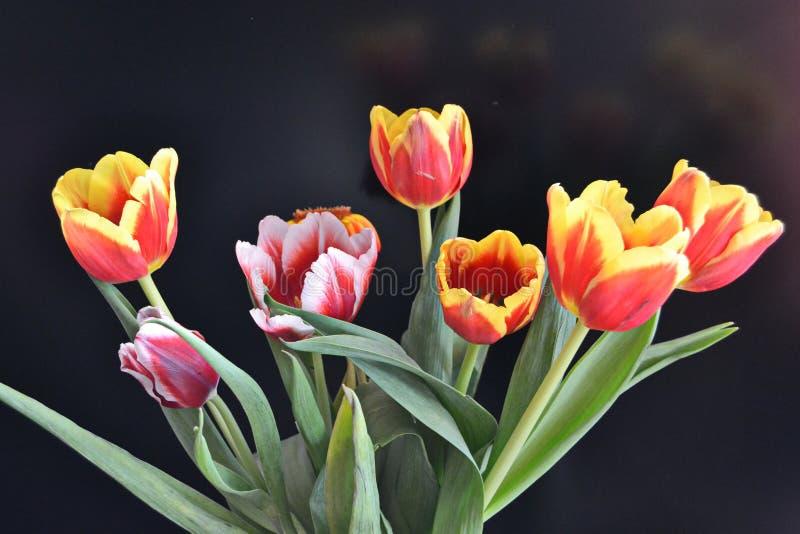 Florece tulipanes de diverso color foto de archivo libre de regalías
