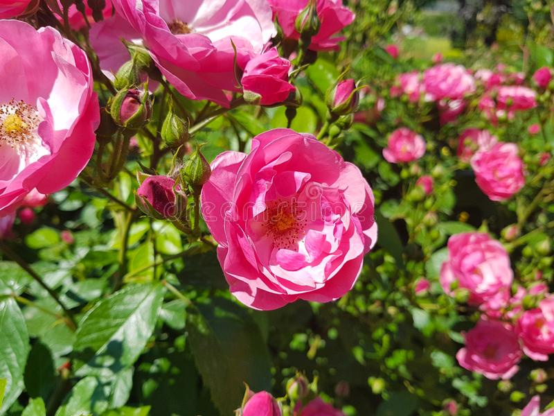 Florecen las rosas rosadas en el primer de las camas en el jardín botánico imagen de archivo libre de regalías