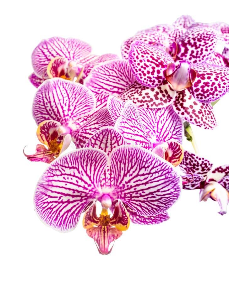 Floreciendo orquídeas púrpuras rayadas y manchadas fotos de archivo