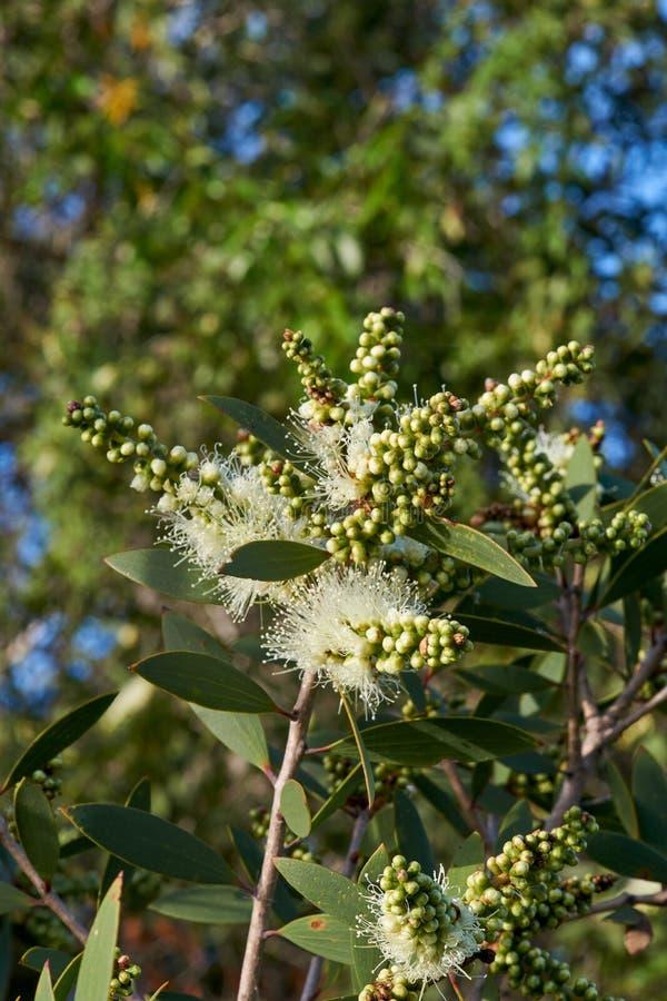 Florecimiento blanco del salicina de Melaleuca del Bottlebrush foto de archivo libre de regalías