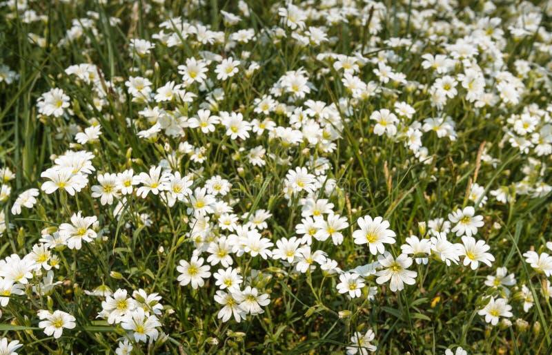 Florecimiento blanco y amarillo de la pamplina en su hábitat natural fotografía de archivo libre de regalías