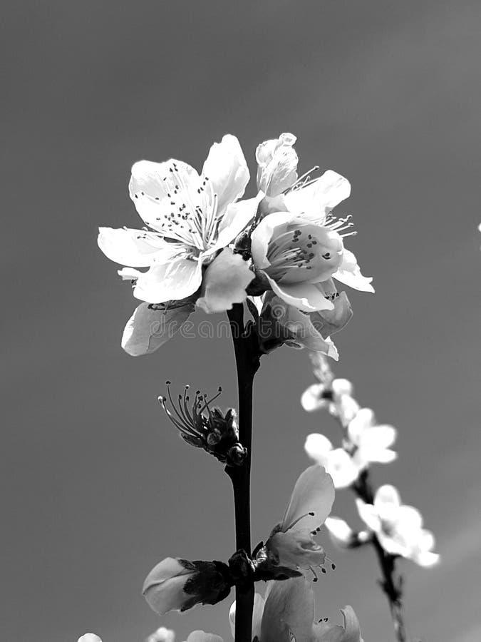 Florecimiento de un árbol frutal del manzano foto de archivo