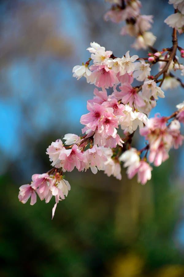 Florecimiento del cerezo invernal en el parque Kenrokuen en Kanasawa, Japón imagen de archivo
