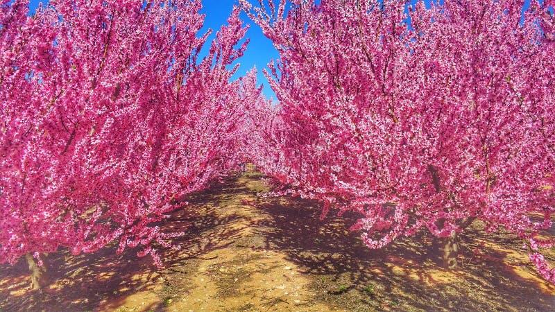 Florecimiento en Cieza 1 fotos de archivo