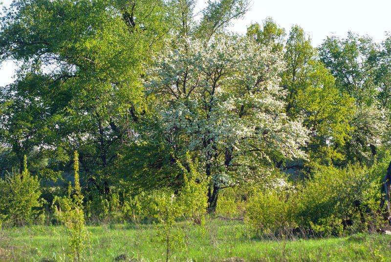 Florecimiento en mayo de un manzano contra un fondo del tre verde foto de archivo