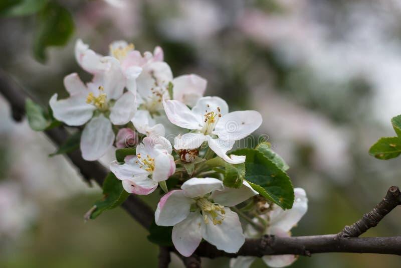 Florecimiento natural de la primavera de árboles en tiempo soleado caliente imágenes de archivo libres de regalías