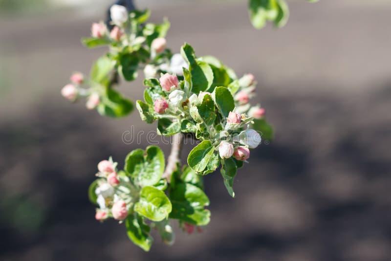 Florecimiento natural de la primavera de árboles en tiempo soleado caliente foto de archivo