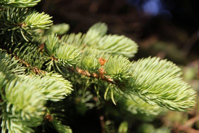 florecimiento y aspecto de nuevas ramas de la picea azul fotos de archivo
