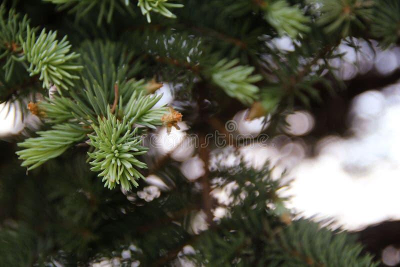 Florecimiento y aspecto de nuevas ramas de la picea azul foto de archivo libre de regalías