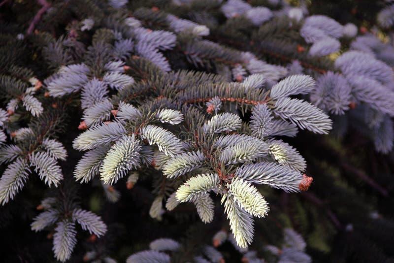 Florecimiento y aspecto de nuevas ramas de la picea azul fotos de archivo libres de regalías