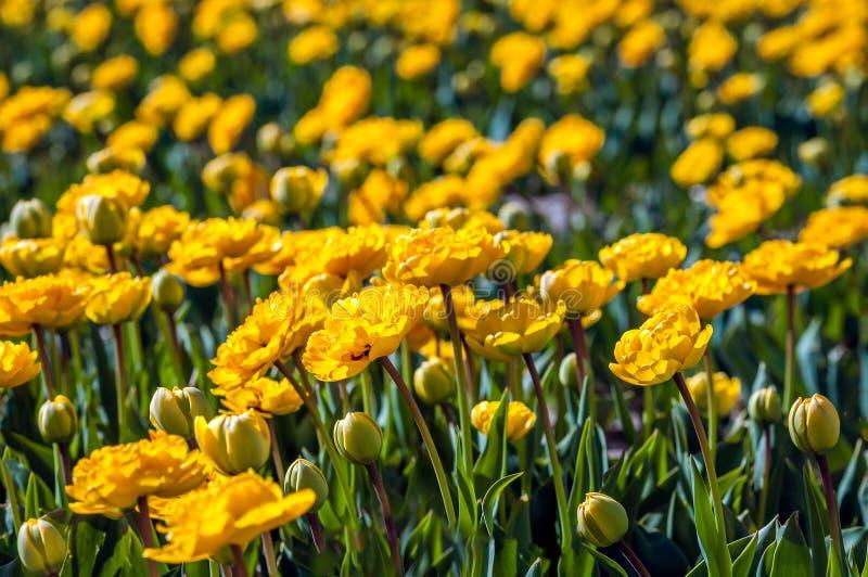 Florecimiento y tulipanes amarillos florecientes completamente dobles del cierre fotos de archivo