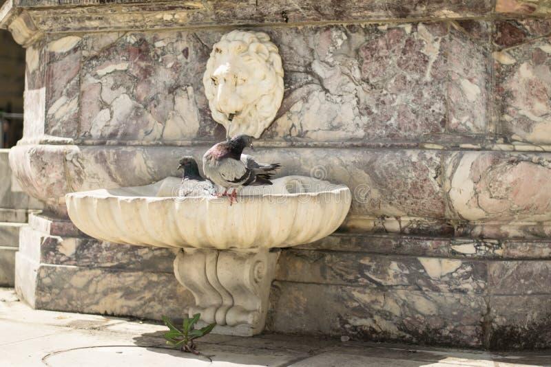 Florencia, Italia - 24 de abril de 2018: dos palomas que se refrescan en una fuente cerca de la basílica de la cruz santa imágenes de archivo libres de regalías