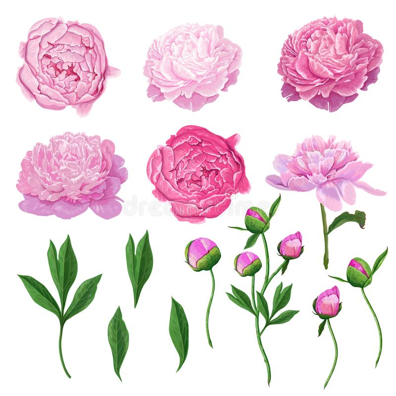 Florenelement-Satz mit den rosa Pfingstrosen-Blumen, Blättern und Knospen Hand gezeichnete botanische Flora für Dekoration, heira stock abbildung
