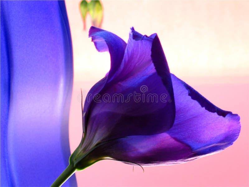 Florero azul y flor azul en fondo rosado foto de archivo libre de regalías