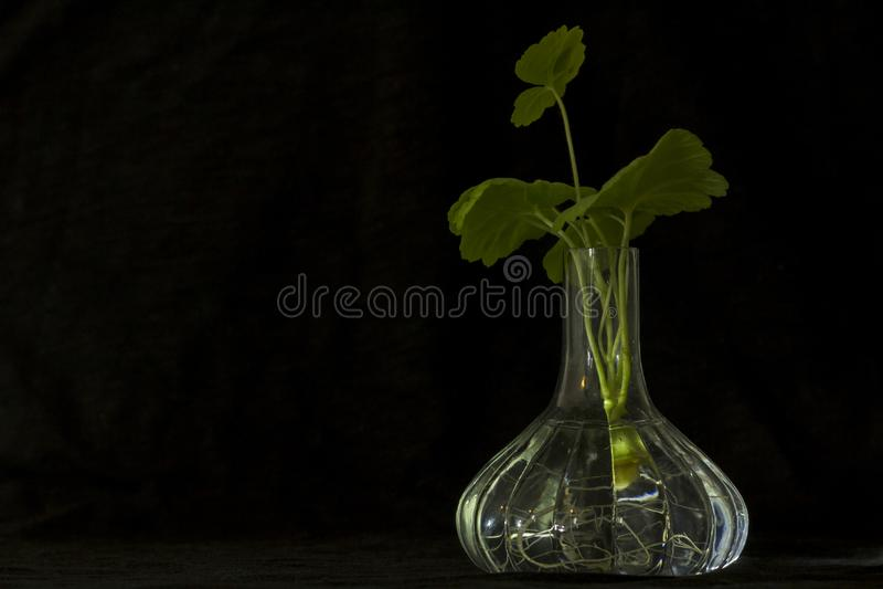 Florero que brilla intensamente transparente, con las raíces de un geranio de la planta visible fotos de archivo