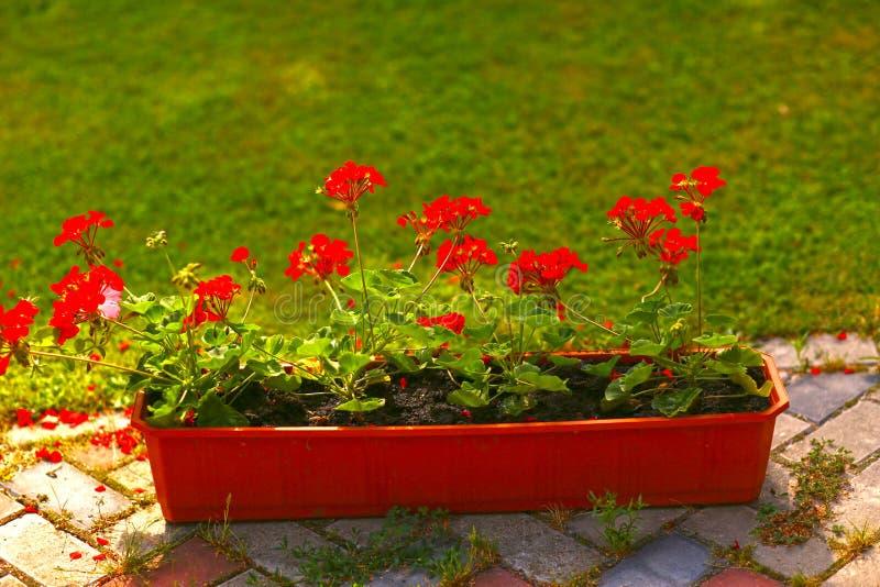 Floresça a caixa com as flores do gerânio no patamar da casa da casa de campo imagem de stock royalty free