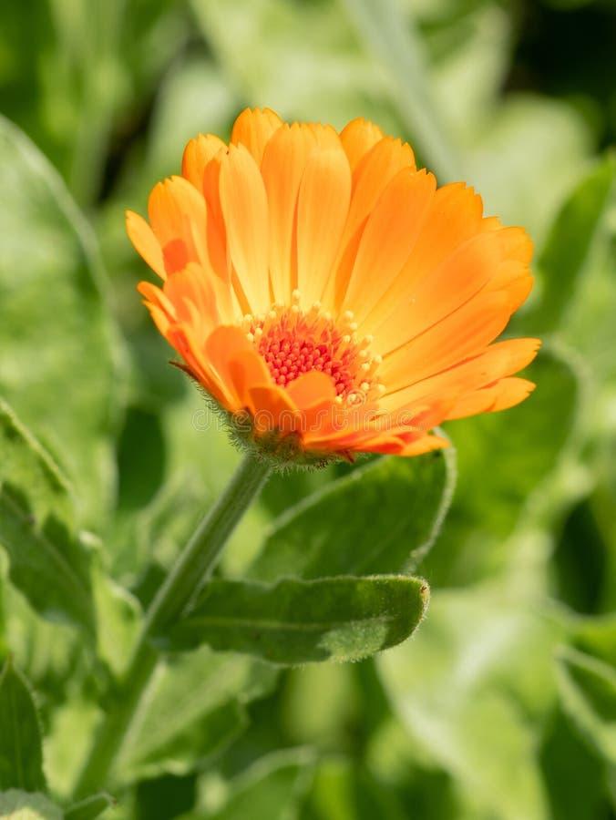 Floresça com os officinalis do Calendula do Calendula das folhas, potenciômetro, jardim imagens de stock