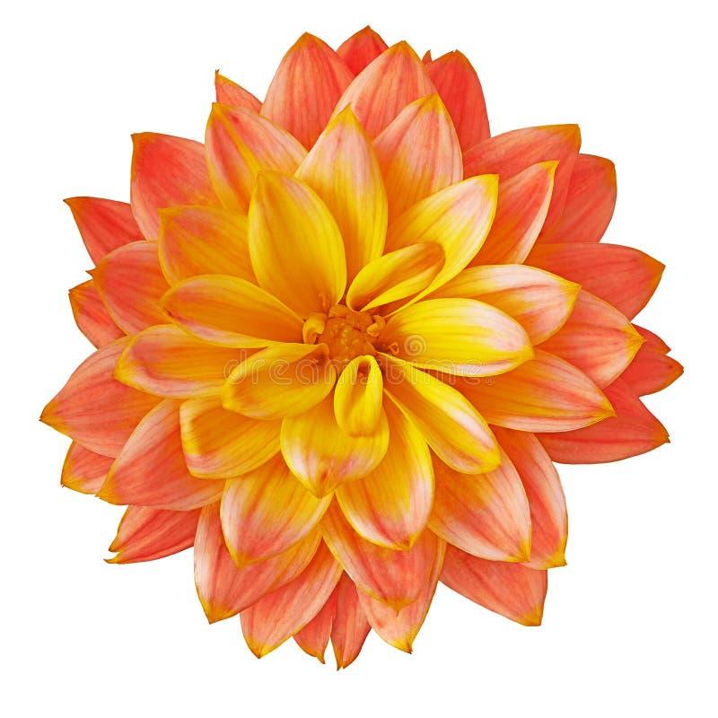 Floresça a dália amarela vermelha isolada no fundo branco Close-up Macro Elemento do projeto fotografia de stock