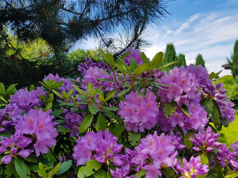 Floresça de um rododendro mais grande da violeta de arbusto contra o céu azul e o pinho no jardim botânico no dia ensolarado Back foto de stock