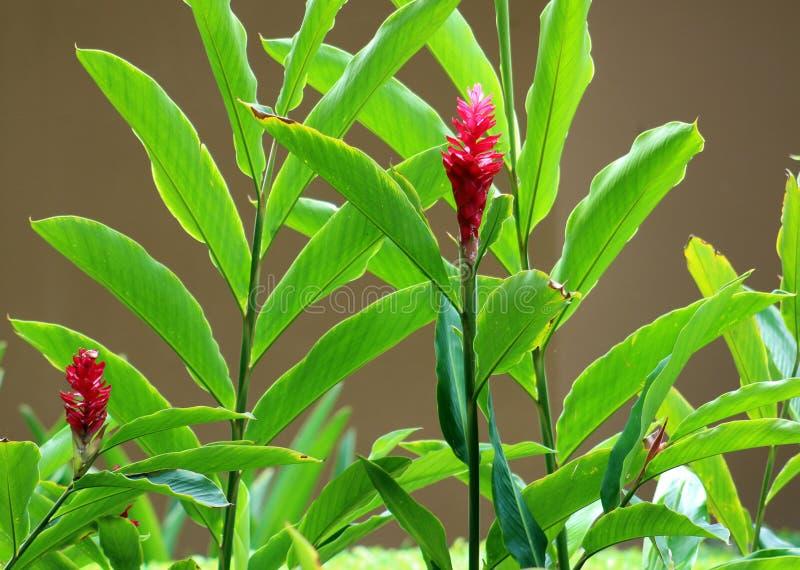 Floresça, flor e plantas vermelhas bonitas em Costa Ricansummer imagem de stock royalty free