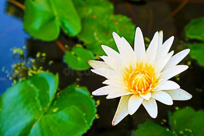 floresça lilly a florescência no backgroung da almofada do verde do dia lilly foto de stock royalty free