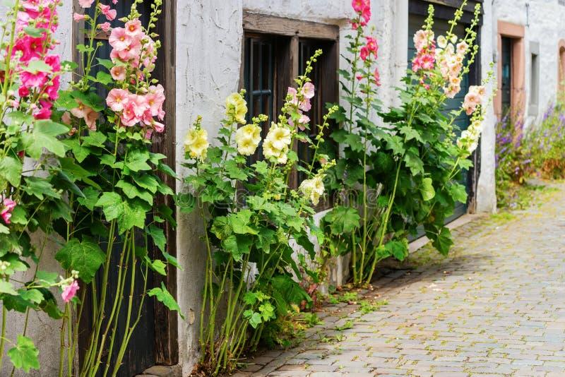 Floresça malvas rosas na frente de uma casa velha da exploração agrícola em uma vila velha fotografia de stock royalty free