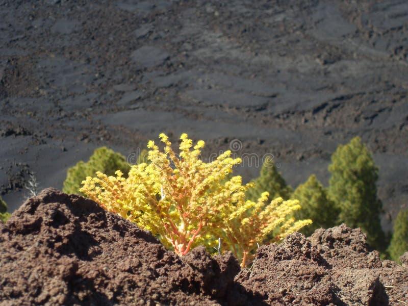 Floresça na área do vulcano do palma do la, Ilhas Canárias imagem de stock