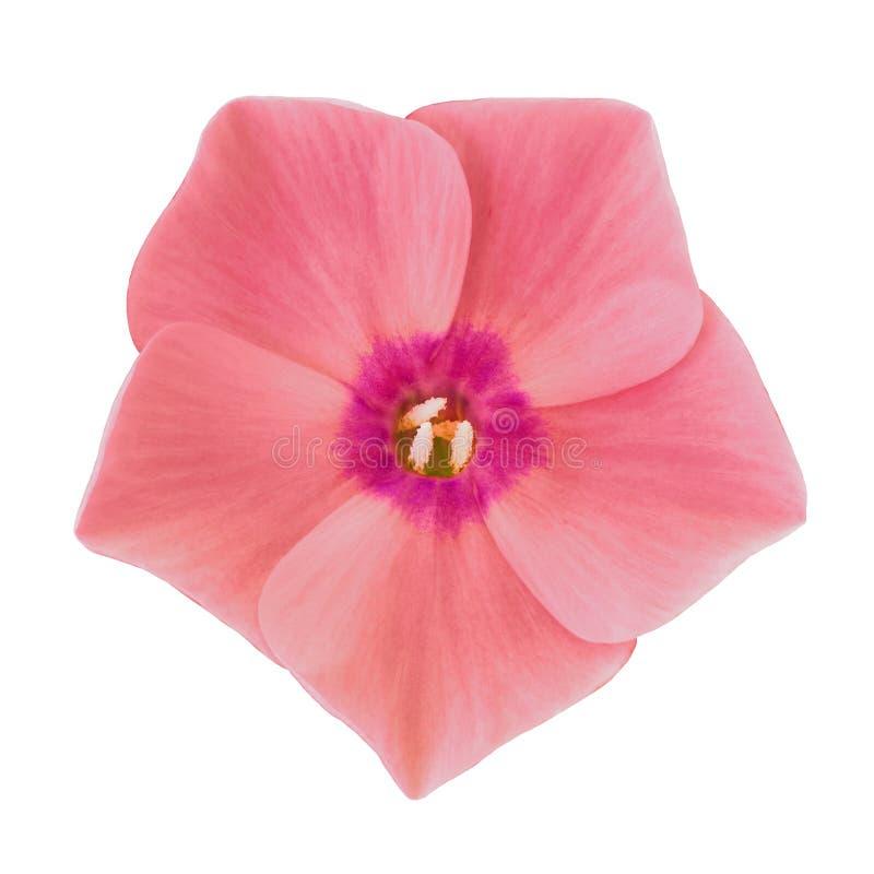 Floresça o flox roxo vermelho isolado no fundo branco Close-up fotografia de stock