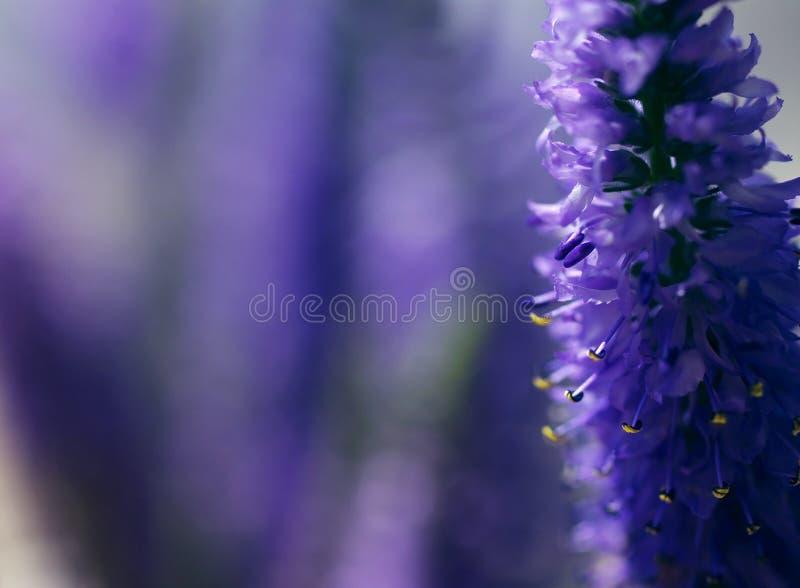 Floresça o fundo delicado com as flores selvagens lilás do verão imagem de stock royalty free